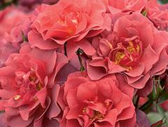 cinco_de_mayo_rose